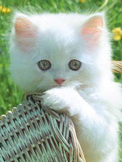 Download CUTE Cat 5887941240x320320x240wallpaperbackground